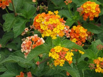 Miss Huff Lantana Lantana Camara Miss Huff Category Perennial Hardiness Zone 7 To 8 Conditions Full Sun Plants Botanical Gardens Lantana