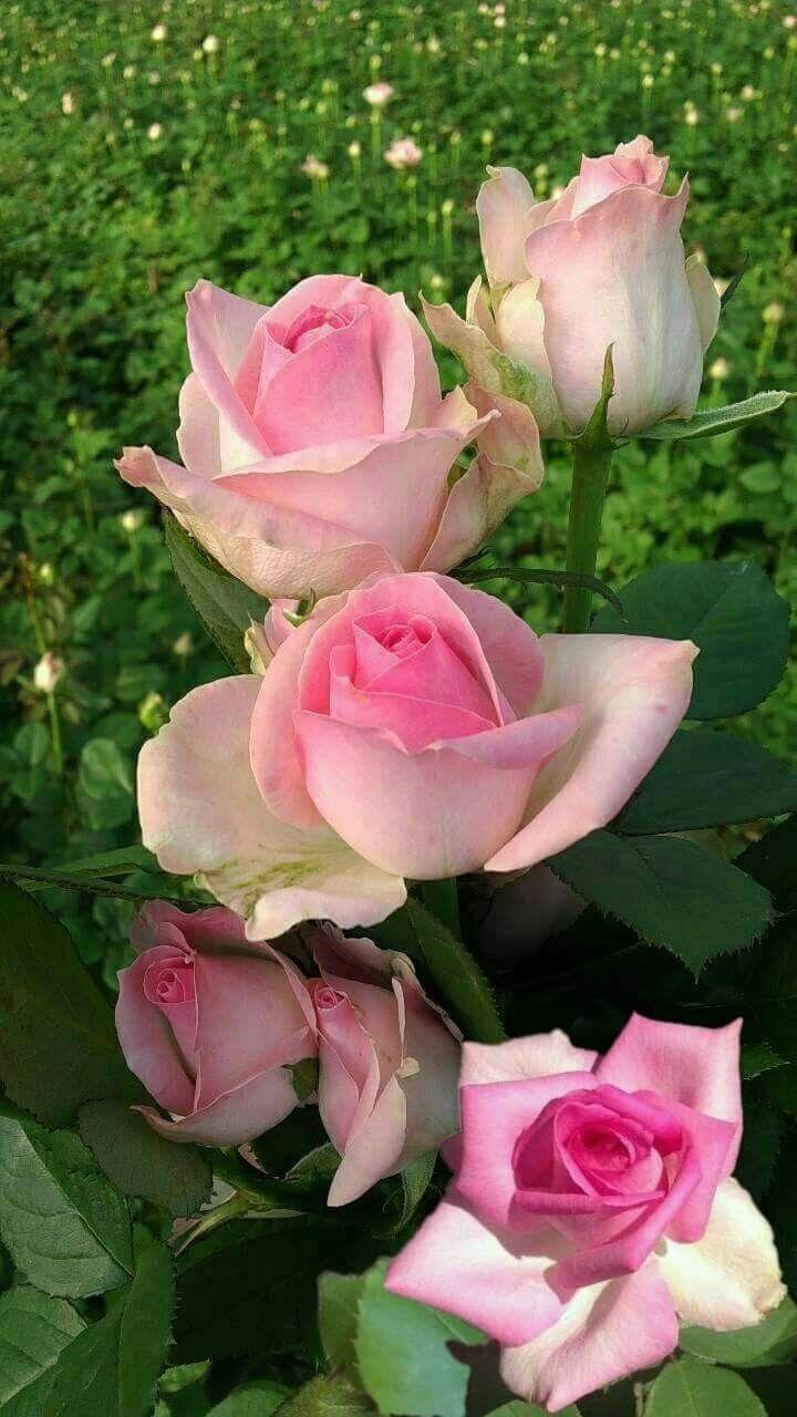 rosas バラ pinterest flores rosadas jardinería rosas