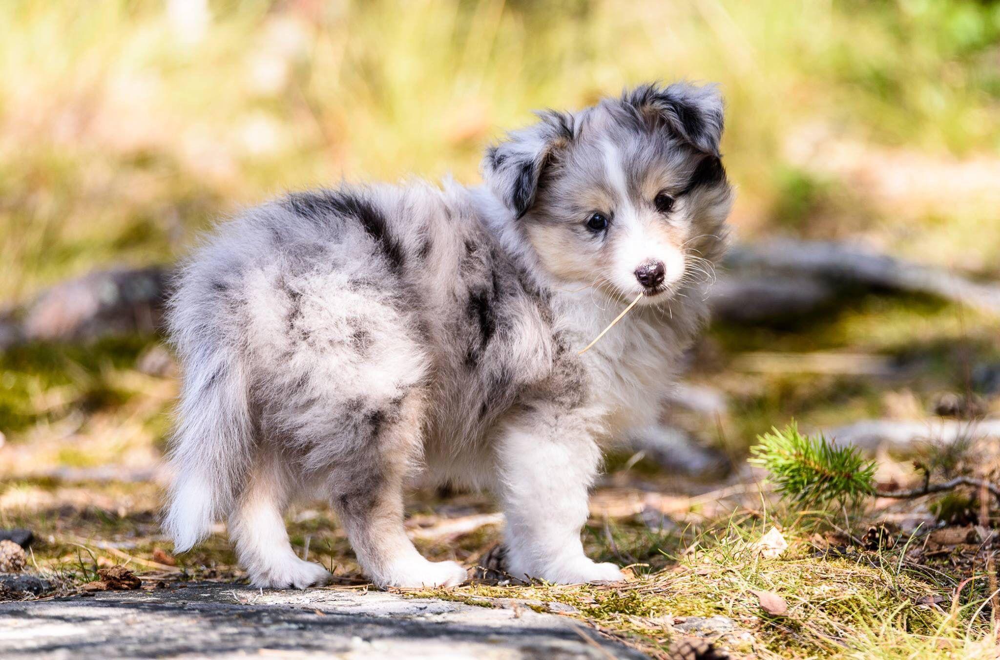 Blue Merle puppy (With images) Shetland sheepdog