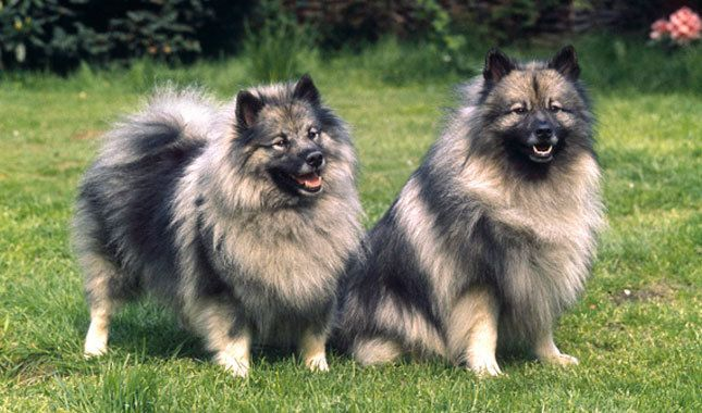 10 Things You Didn't Know About the Keeshond   Keeshond ...