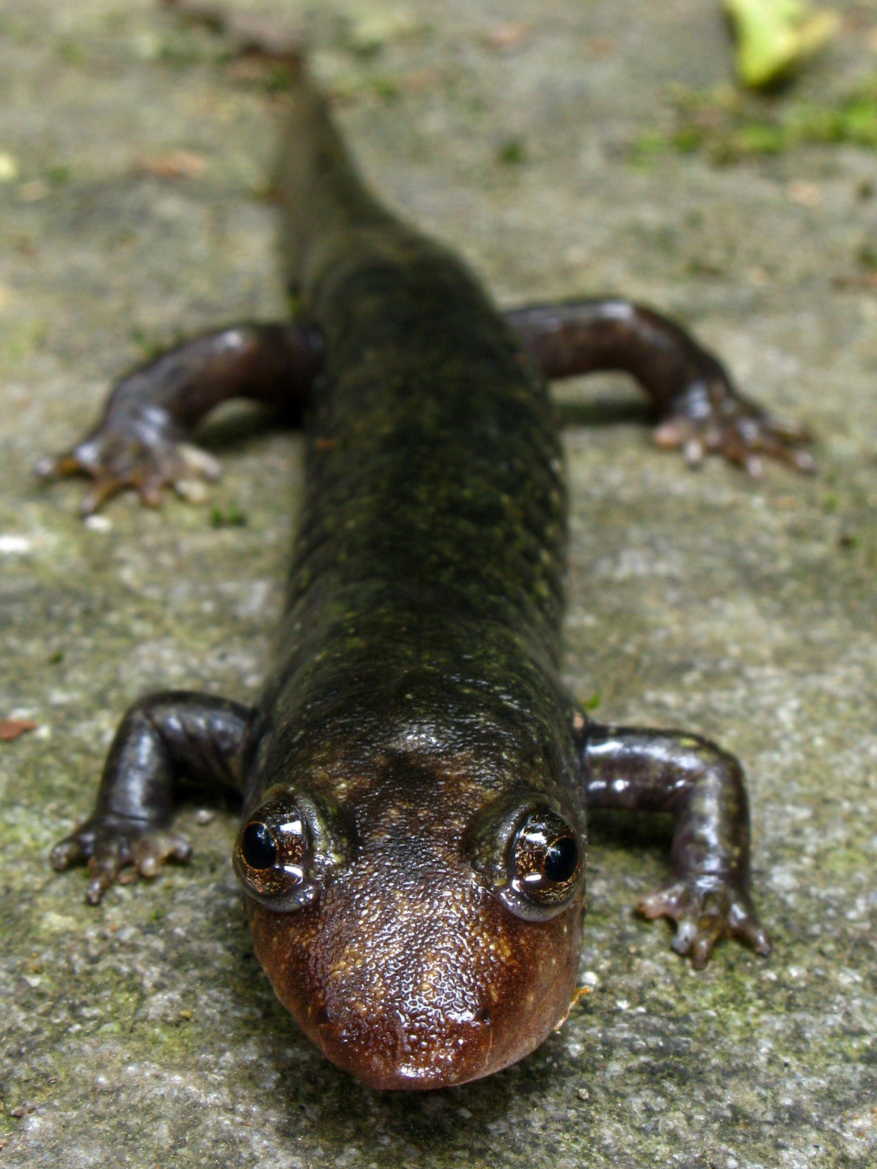 black-bellied_salamander_cressler_high_res.jpg (3000×4000)