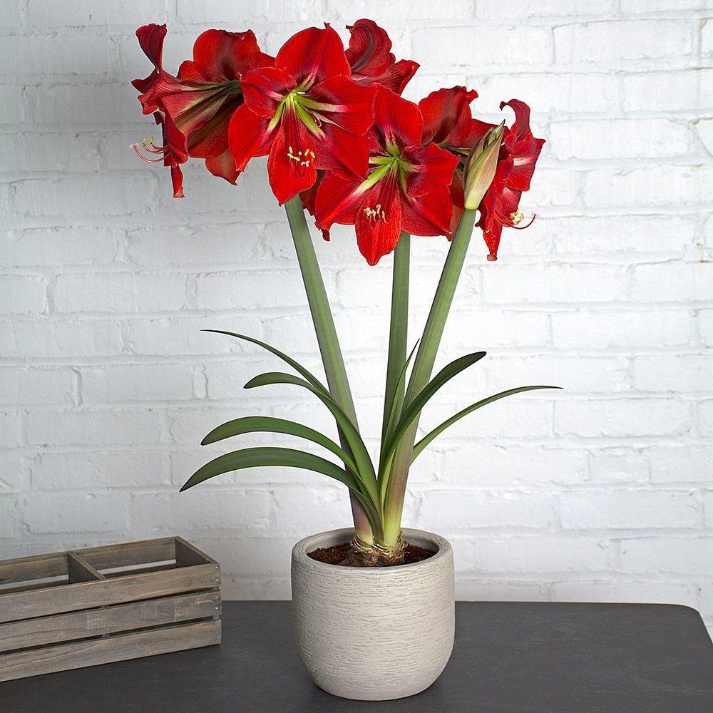 Наполи   Сенполия, Цветы, Растения
