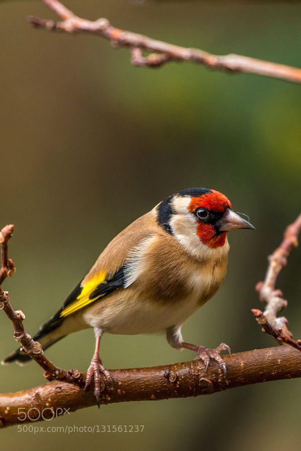 Goldfinch de xavierdelmas
