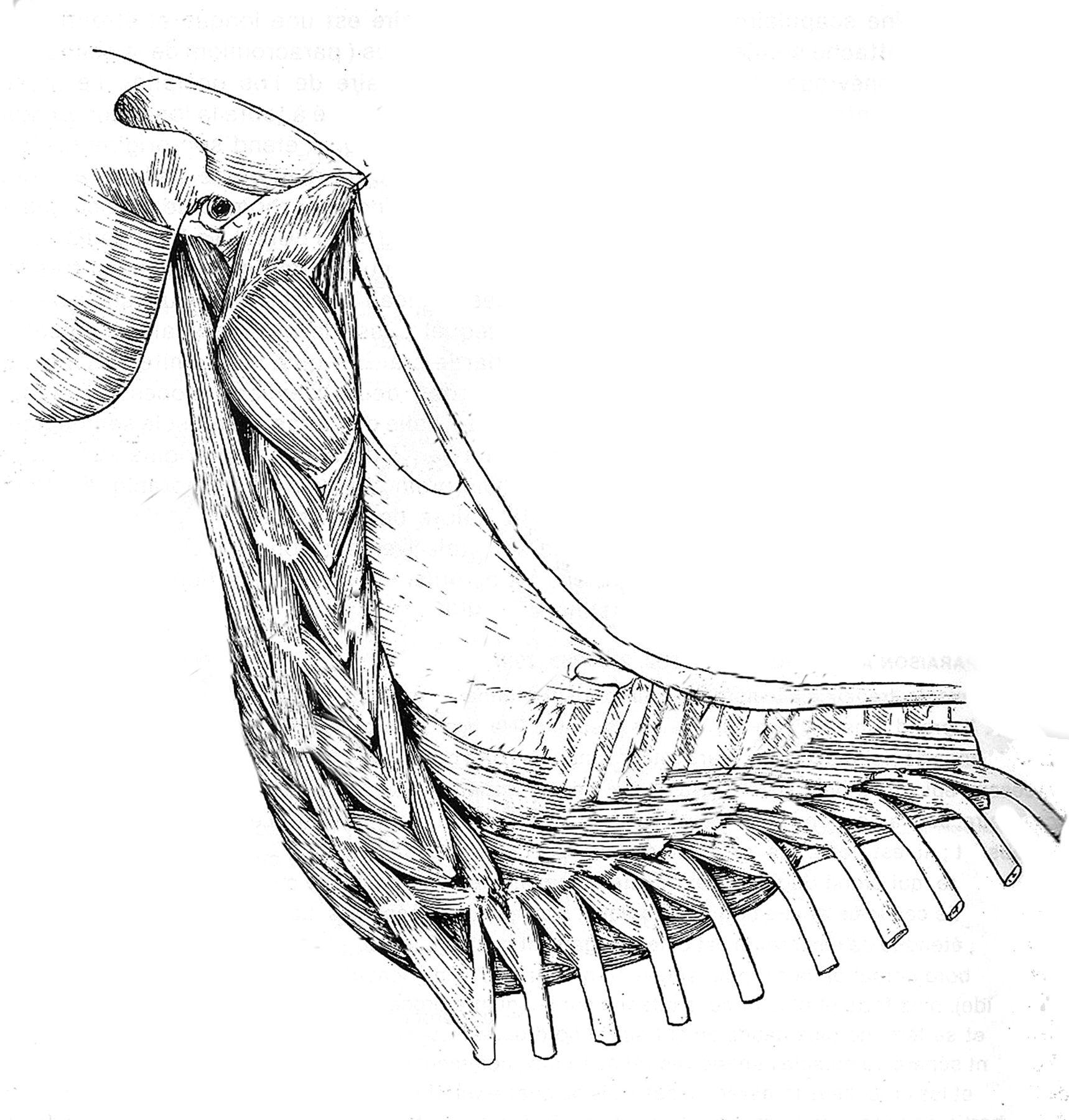 Quinta capa cuello equino | Anatomía Veterinaria | Pinterest ...