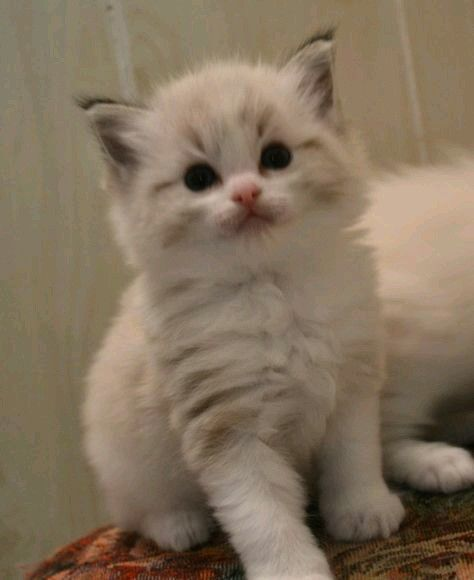 Pin By Cindy Brown On Cute Animals Ragdoll Kitten Kittens Cutest Cats