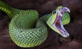 22 Pics Of The Coolest Poisonous Snake In The World The African