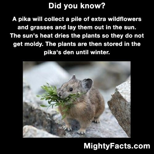 pika things that made me go hummmm pinterest animal crazy