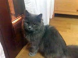 Image Result For British Longhair Cat Grey Gray Grey Cat Breeds Cat Breeds Grey Cats
