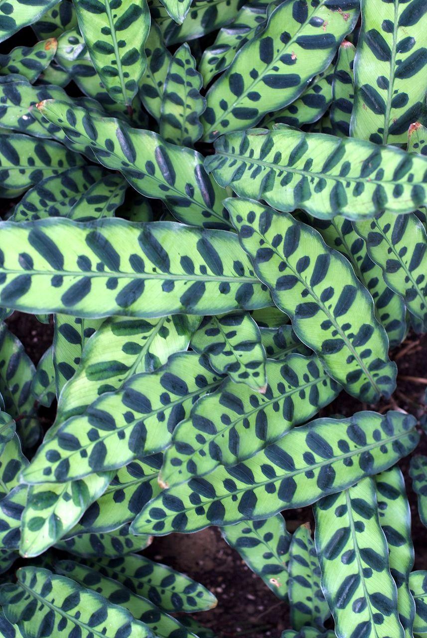 트리인포 > 칼라데아 마코야나 / Calathea makoyana :: 식물정보 > 겔러리 > 칼라데아 마코야나