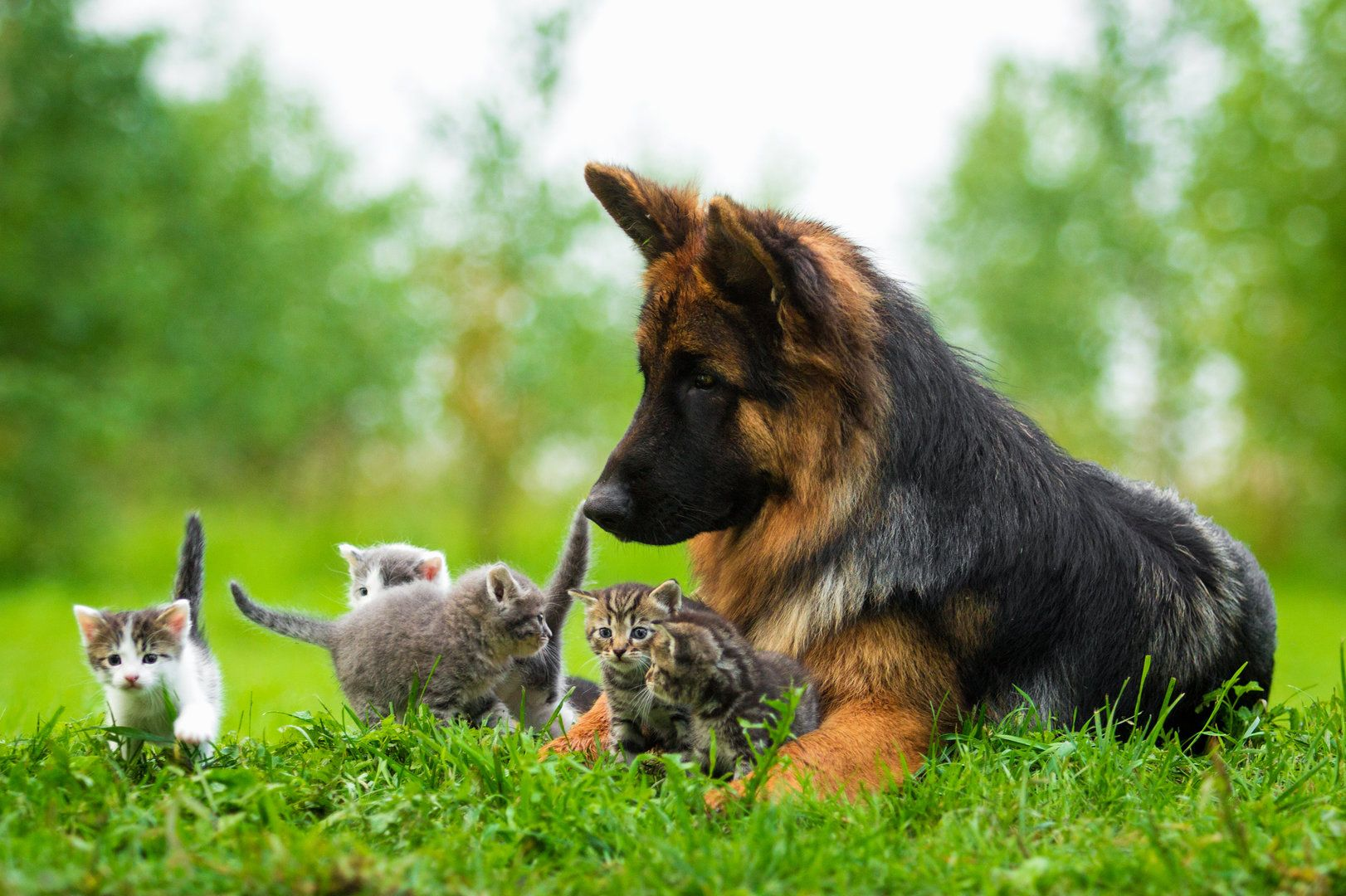 German Shepherd Dog Protecting Kittens Dog Cat Pictures Cute Animals Kittens And Puppies