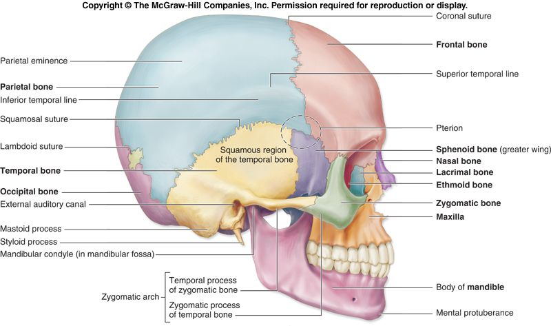 Human Anatomy Skull Lateral View Diagram - Auto Wiring Diagram Today •