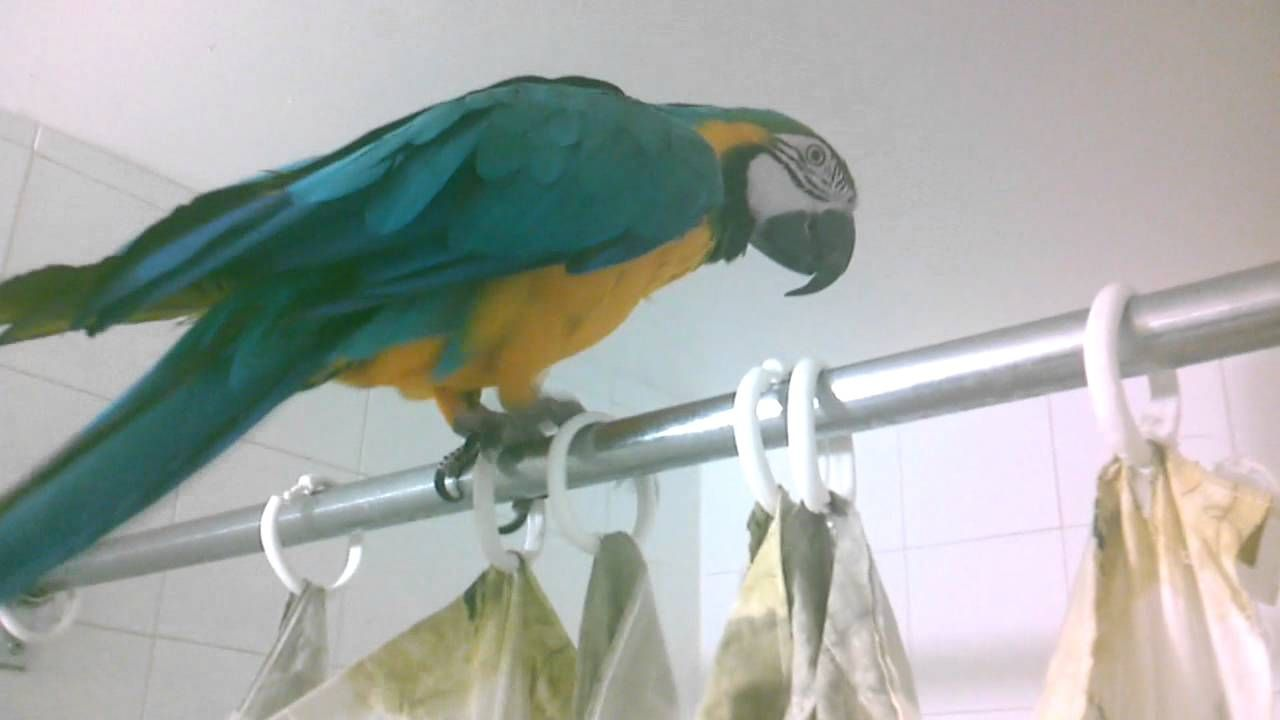 Macaw Shower Playtime Cute And Funny Macaw Budgies Bird Parrot Rescue