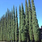 Utah Trees For Sale Fast Growing Trees Italian Cypress Fast