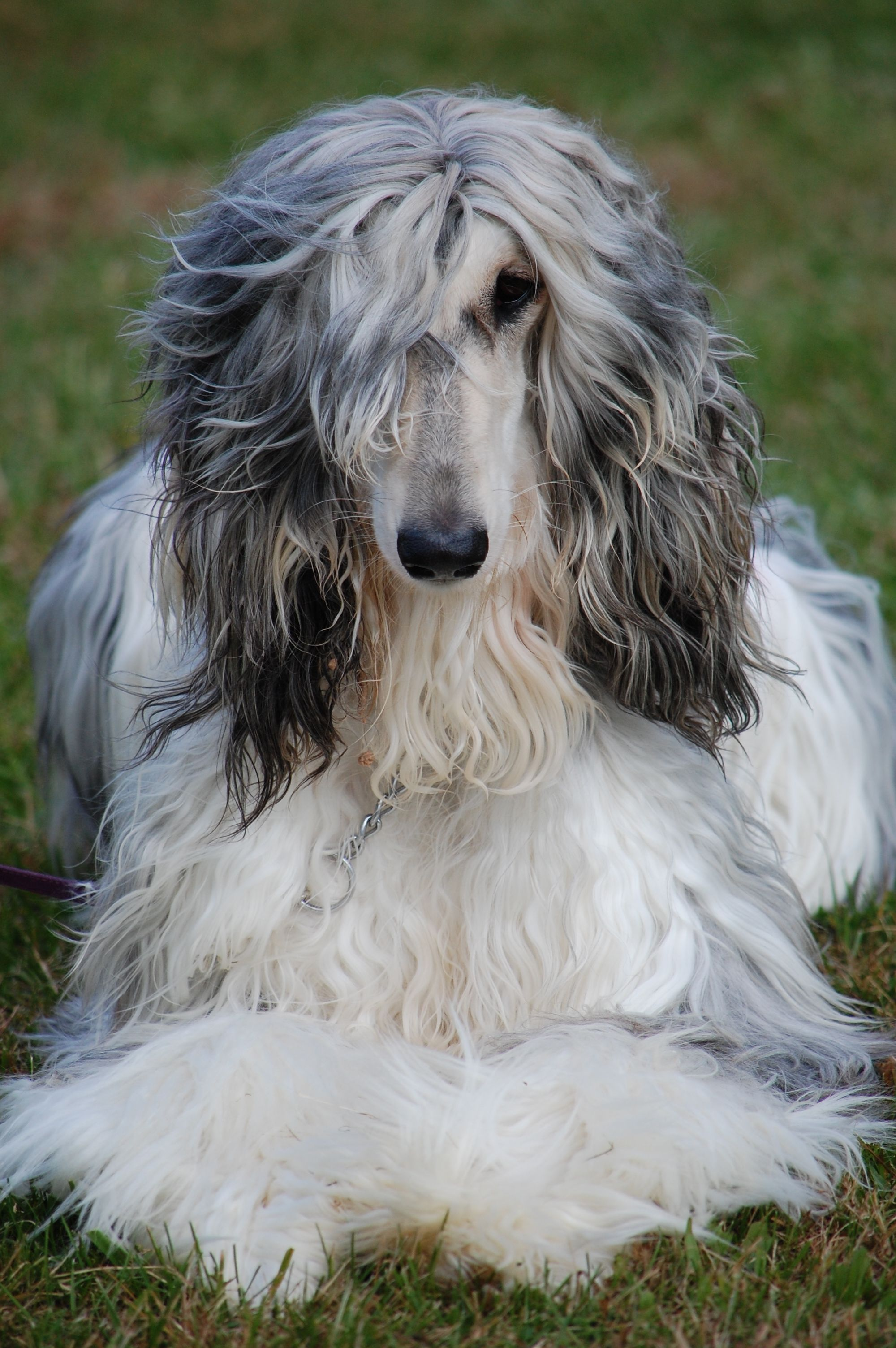 Eli what a beauty!! Afghan Hound ♥ Loved and pinned by