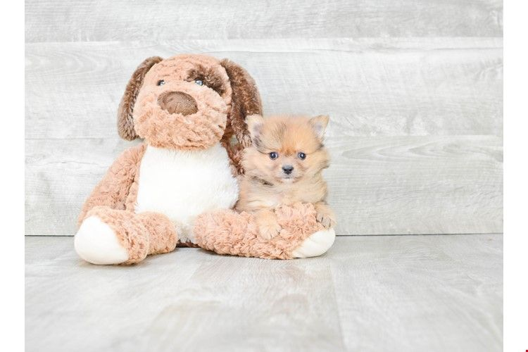 Pomeranian puppies for sale | Teacup breed Pom puppies for sale in Ohio #teacuppomeranianpuppy