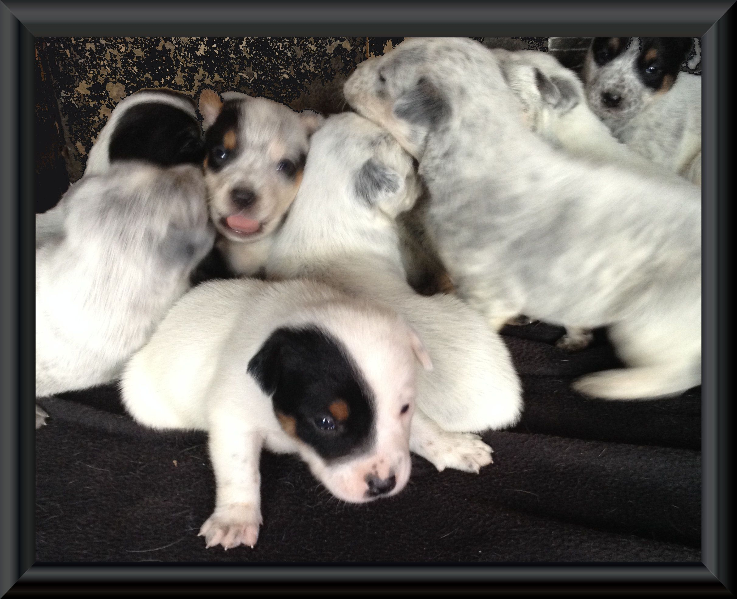 3 Weeks Old Full Blooded Blue Heeler Puppies Heeler Puppies Blue Heeler Puppies Blue Heeler