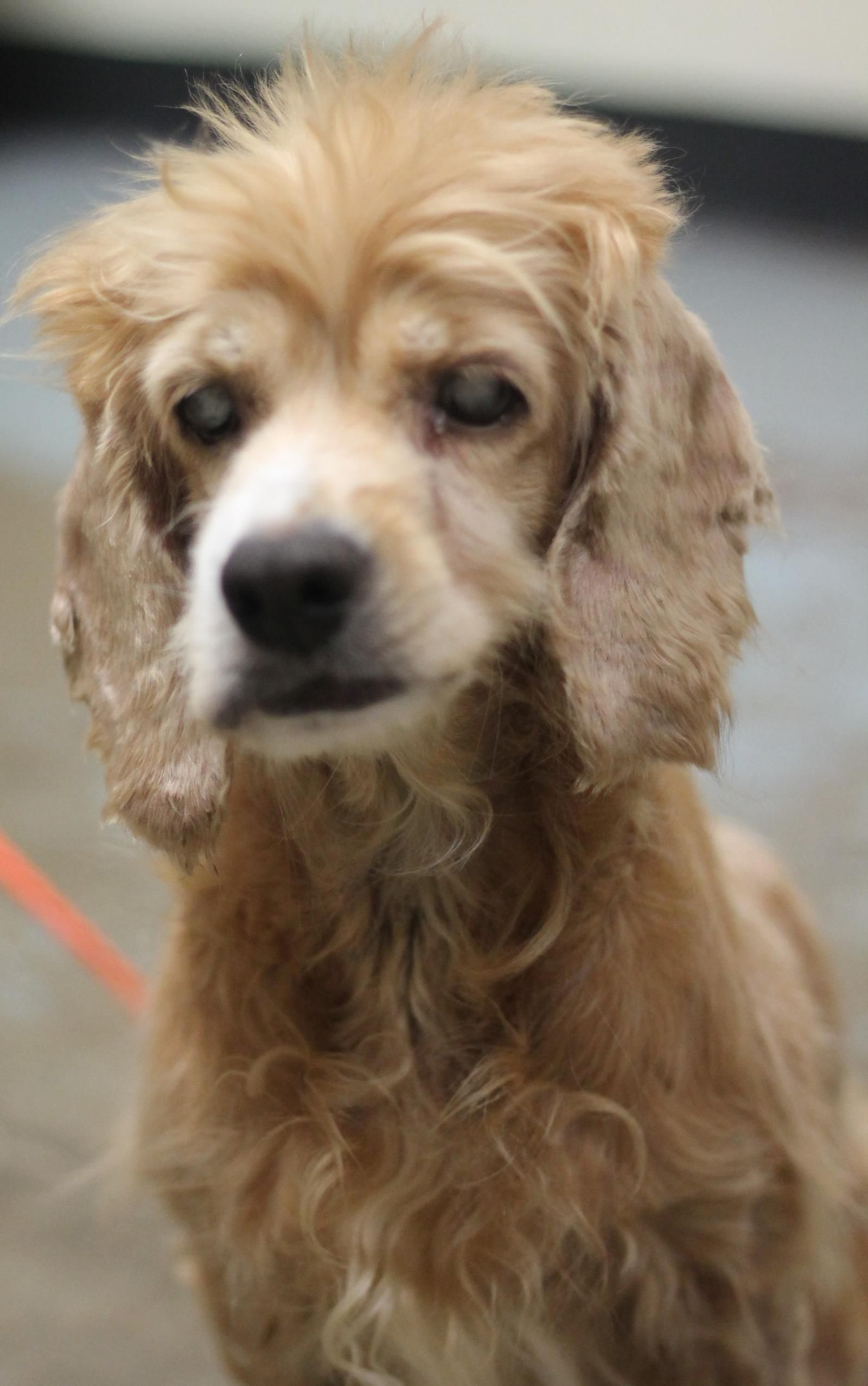 Cocker Spaniel dog for Adoption in Westminster, MD. ADN