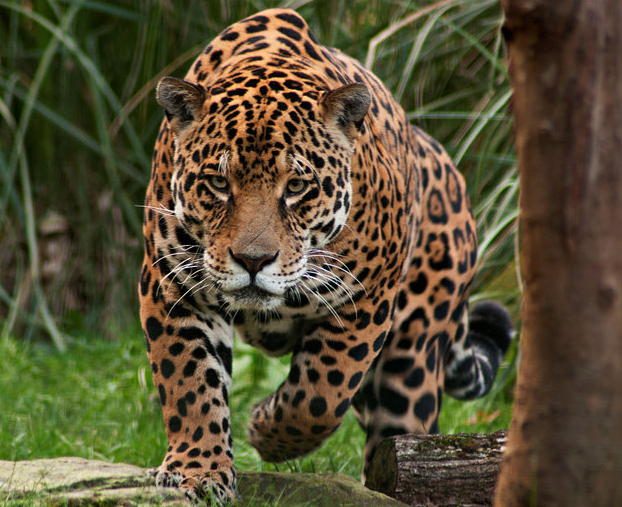 Amado fotos-onça-pintada.png (622×507) | DAP of LARGE CATS (1  EL57