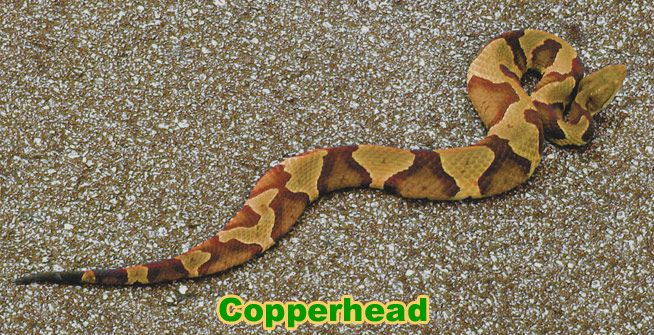 3fe9b6209ddbcb0526b1a39dd9d74a6b - How To Get Rid Of Copperhead Snakes In Your Yard