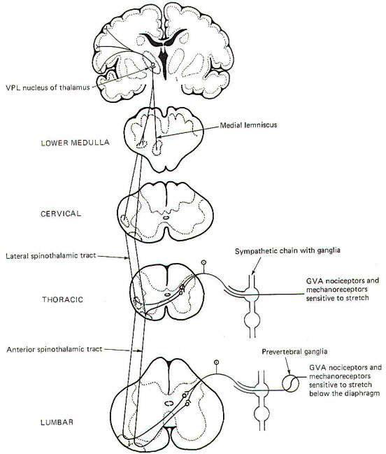 Somatic Senses Education: VLS SENSORY PATHWAYS I Love Neuro