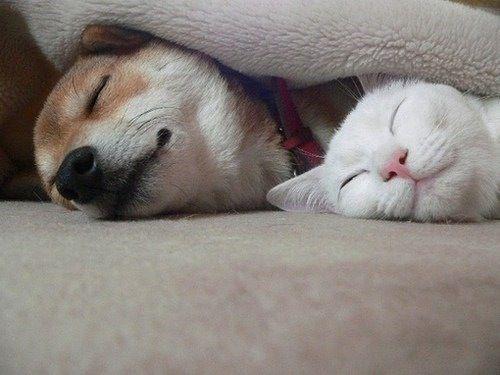 Shiba Inu and kitty
