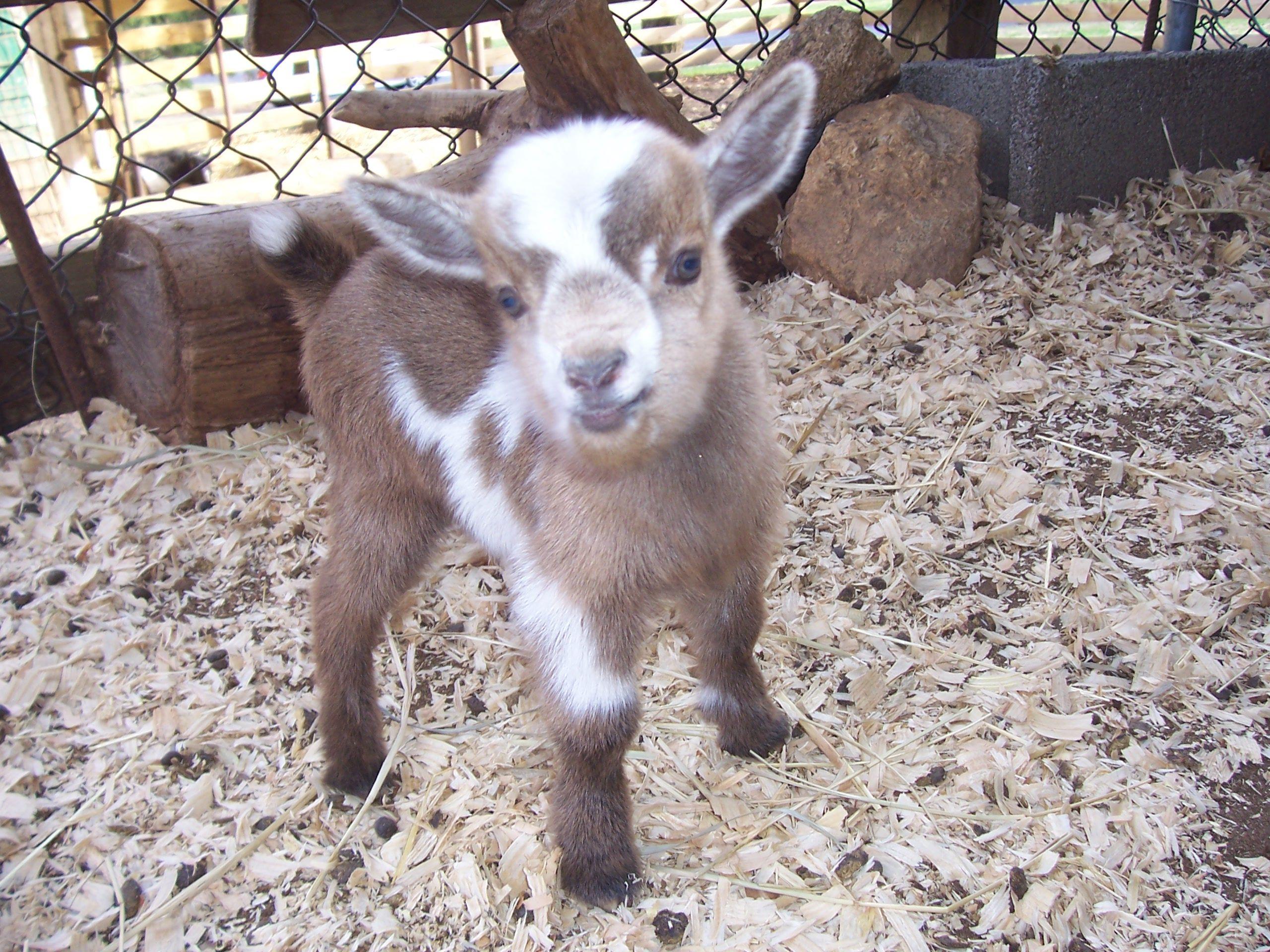 Baby Nigerian Dwarf goat Cute Animals Pinterest