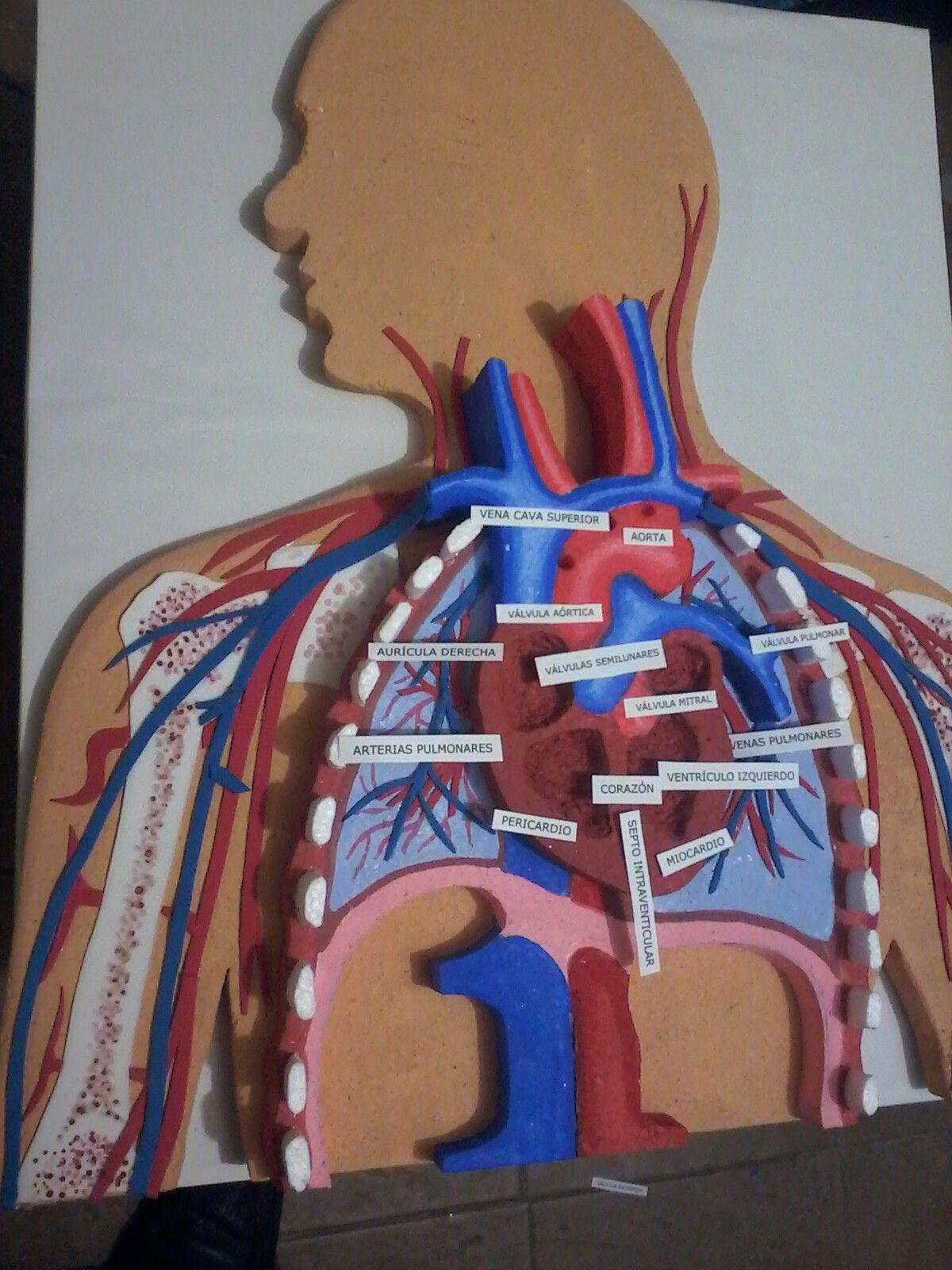 Pin de tolo en Anatomía Cabeza y Cuello | Pinterest | Maquetas ...
