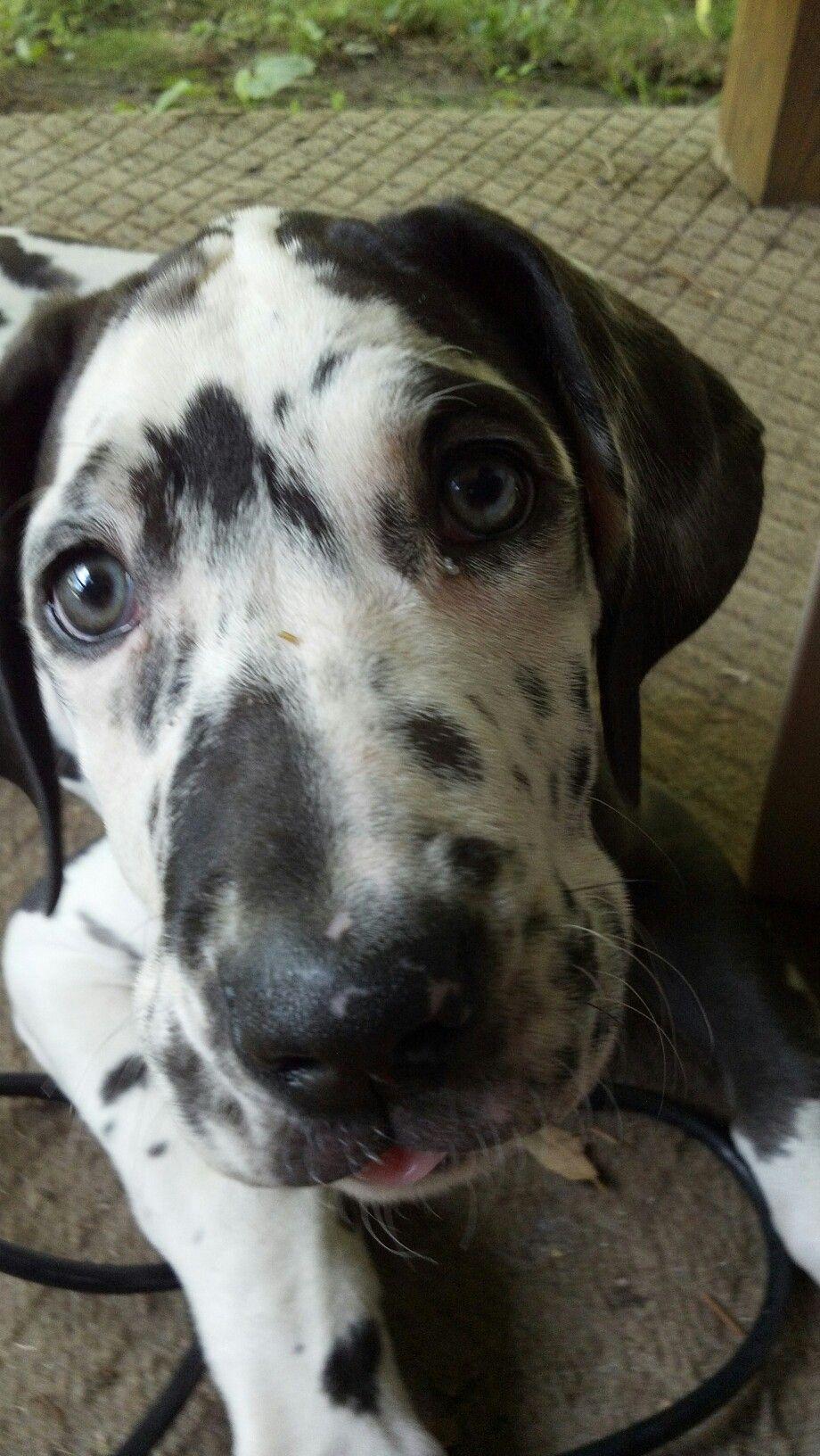 great dane puppy love
