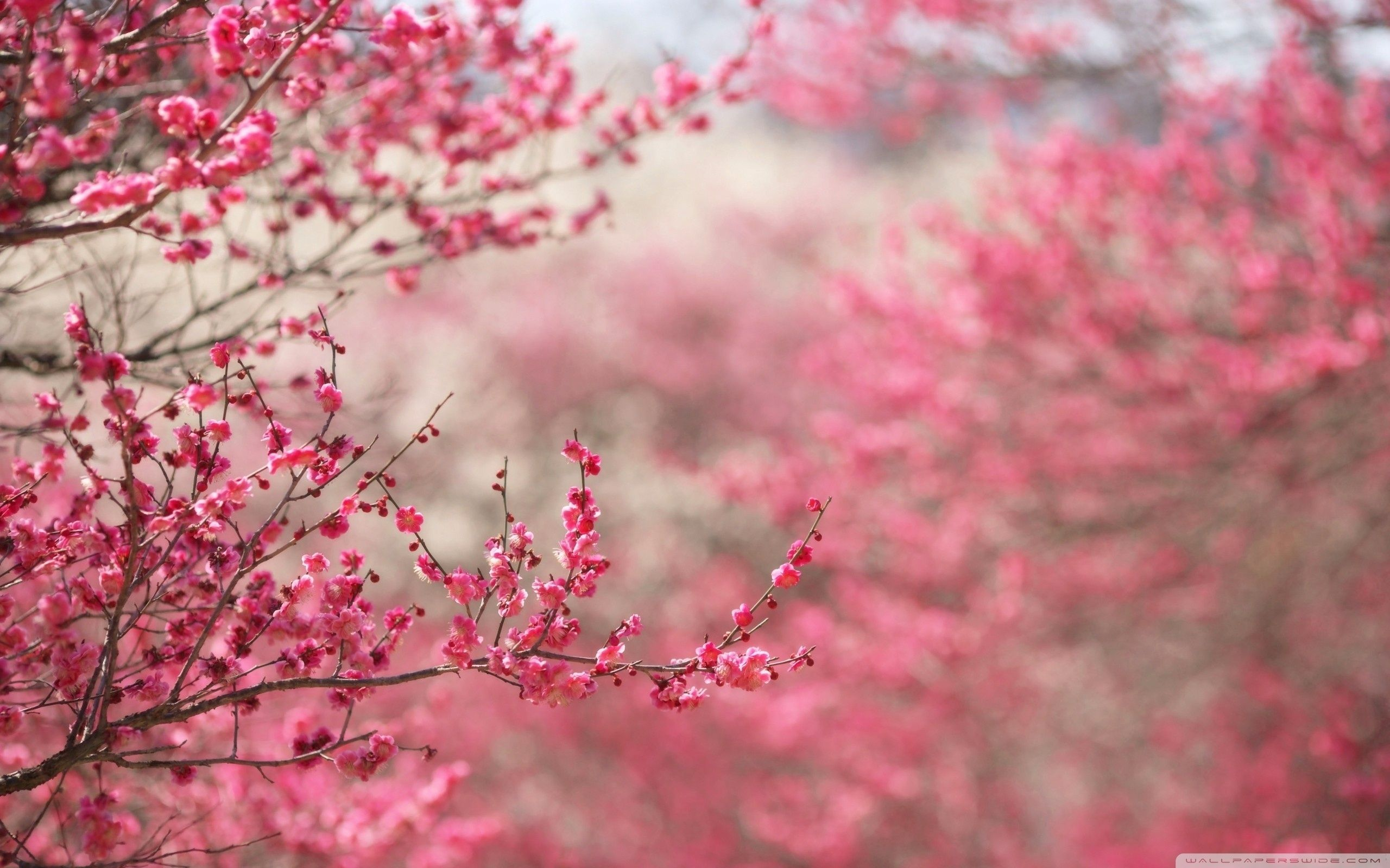 10 Most Popular Sakura Cherry Blossom Wallpaper Full Hd 1920 1080 For Pc Desktop Spring Desktop Wallpaper Cherry Blossom Wallpaper Pink Flowers Wallpaper
