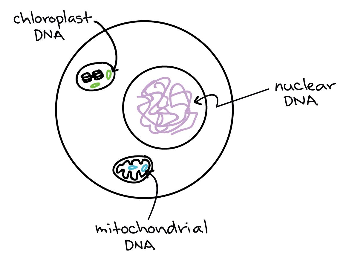 4 Fertilization Terminology Gametes Zygotes Haploid