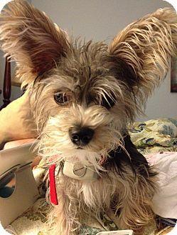 Awwwww Richmond Va Yorkie Yorkshire Terrier Maltese Mix