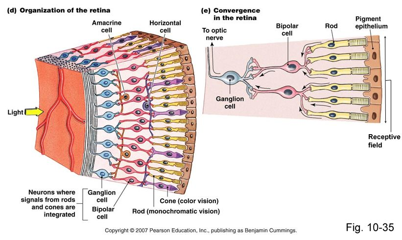 Photoreceptor Cells Consist Of Rod And Cone Cells Rod Cells See Dark Light Rod Cells Have Rhodopsin Opsin Protein Portion R Neurons Light In The Dark Color