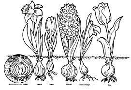 narcis tekening zoeken bloem kleurplaten