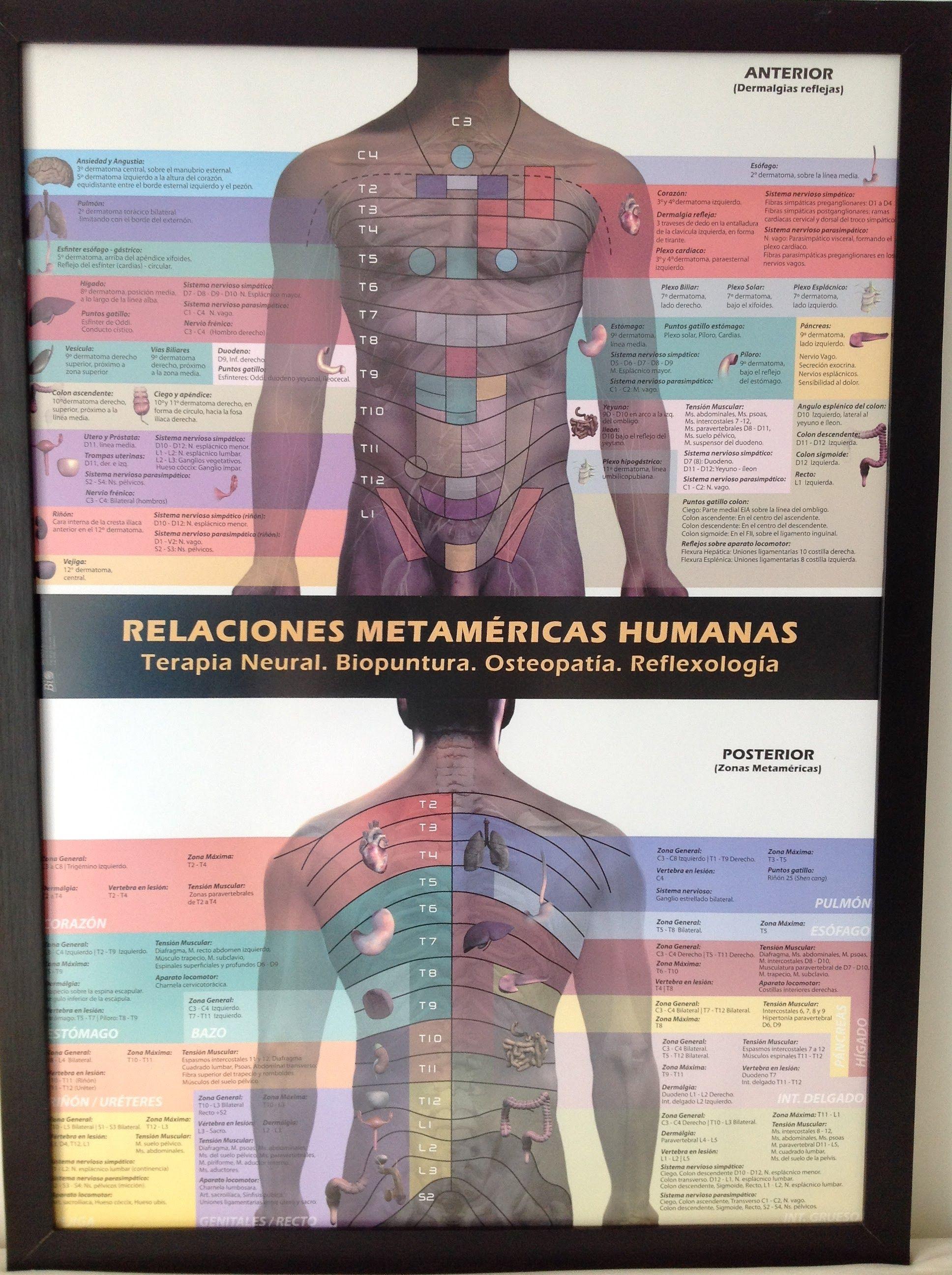 Resultado de imagen de relaciones metamericas humanas ...