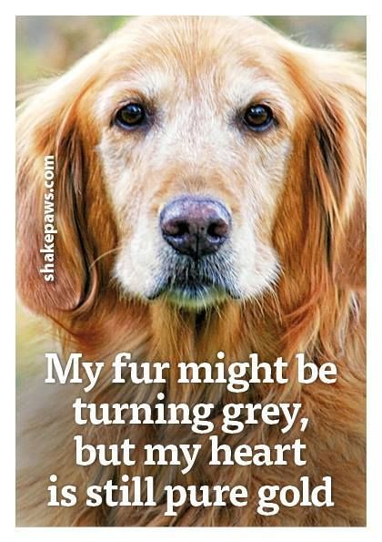 Golden Retriever All Things Golden Dogs Dog Quotes Animal