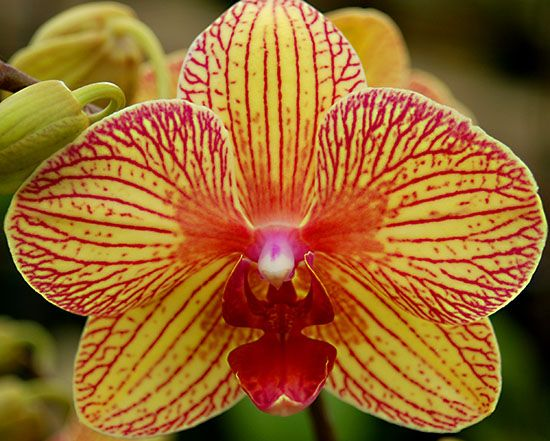 Yellow And Pink Orchid Phalaenopsis orchids c...