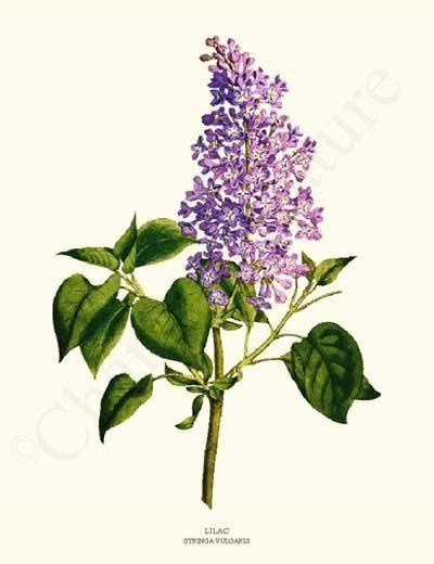 Vintage Flower Art Botanical Prints | Syringa vulgaris and ...