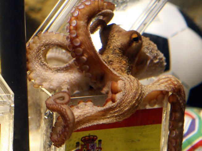 Malaysian World Cup Oracle Fails To Predict Own Future As Sotong Kangkung Paul The Octopus World Cup Octopus