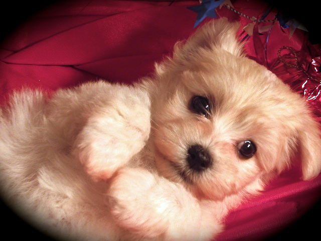 Havanese Puppies For Adoption In Michigan Havanese Puppies Puppy Adoption Havanese