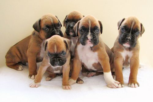 Brown Boxer Puppies Teacup Photos Boxer Puppy Training Boxer Puppies Boxer Dog Breed