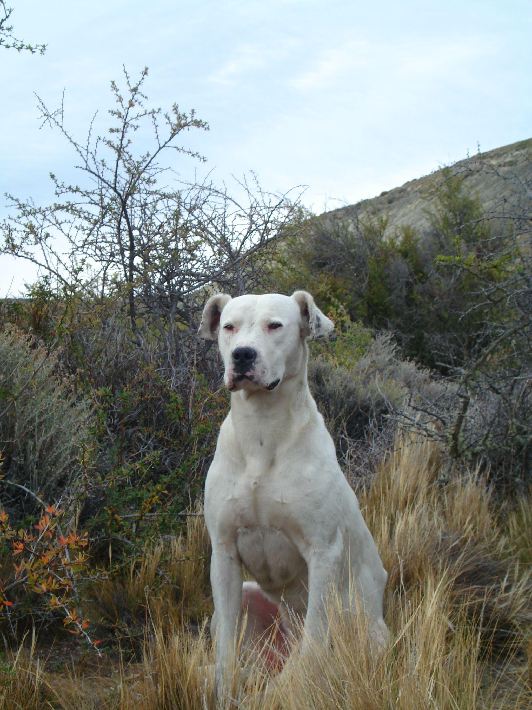 Der Dogo Argentino (FCINr. 292) gehört zu der Gruppe der