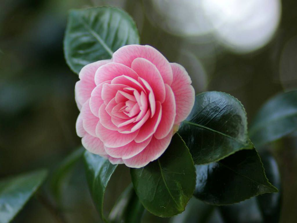 Camellia Japonica Japanese Camellia World Of Flowering Plants Flowers Camellia Flower Container Flowers