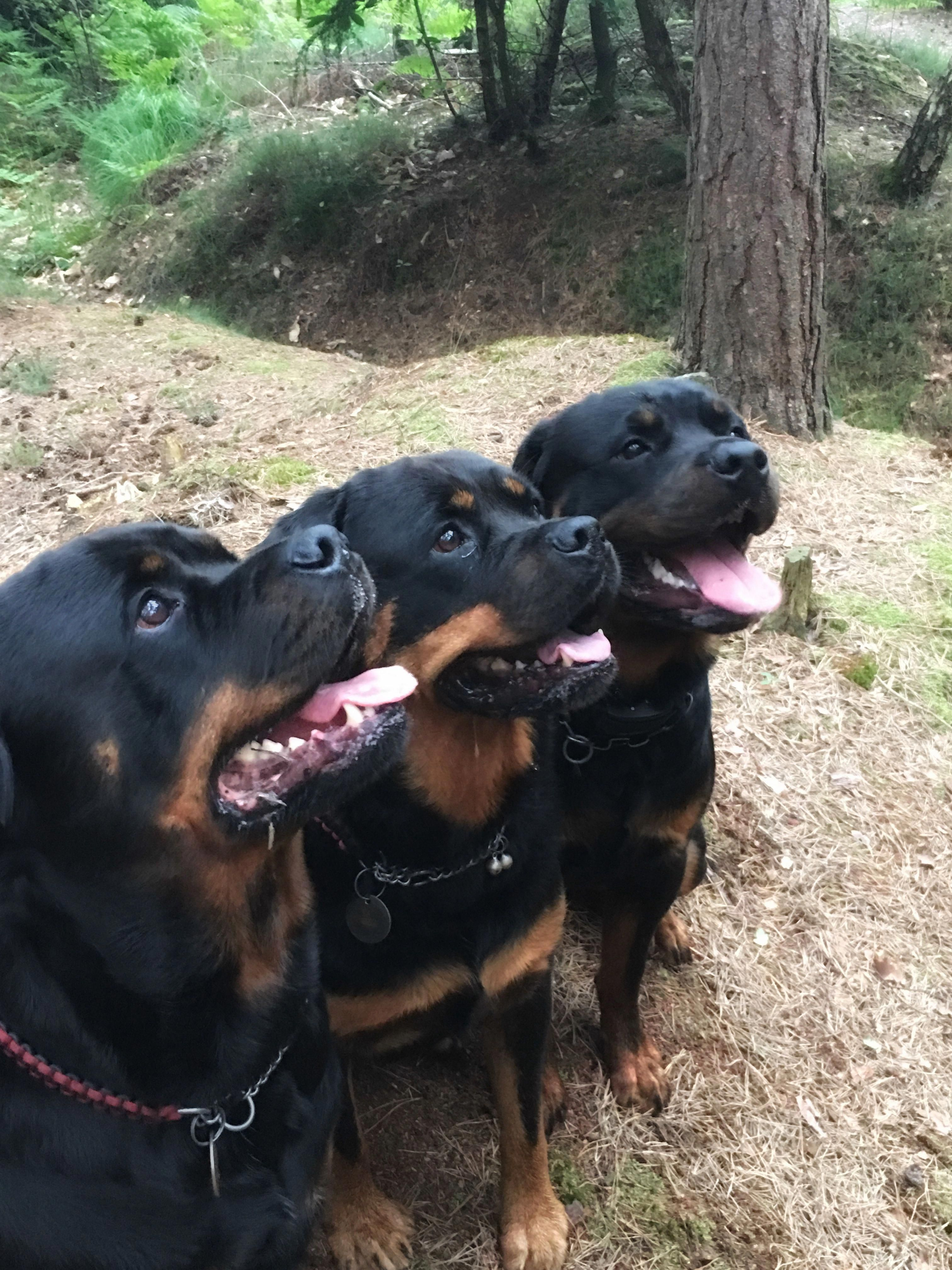 Ok So Now That U Called Us To Come What Do U Want You Couldn T Possibly Brought Any Treats Out In The Woods Rottweilers Rottweiler Dog Rottweiler Dog Breeds