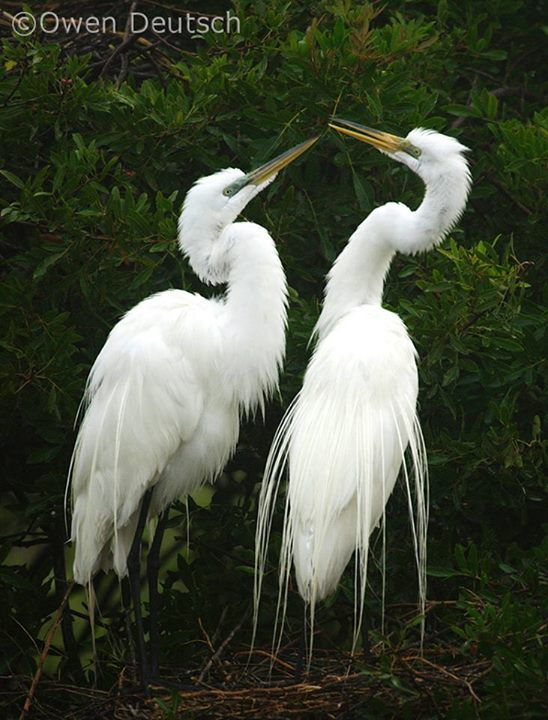 Egret Is The Symbol Of The The National Audubon Society One Of