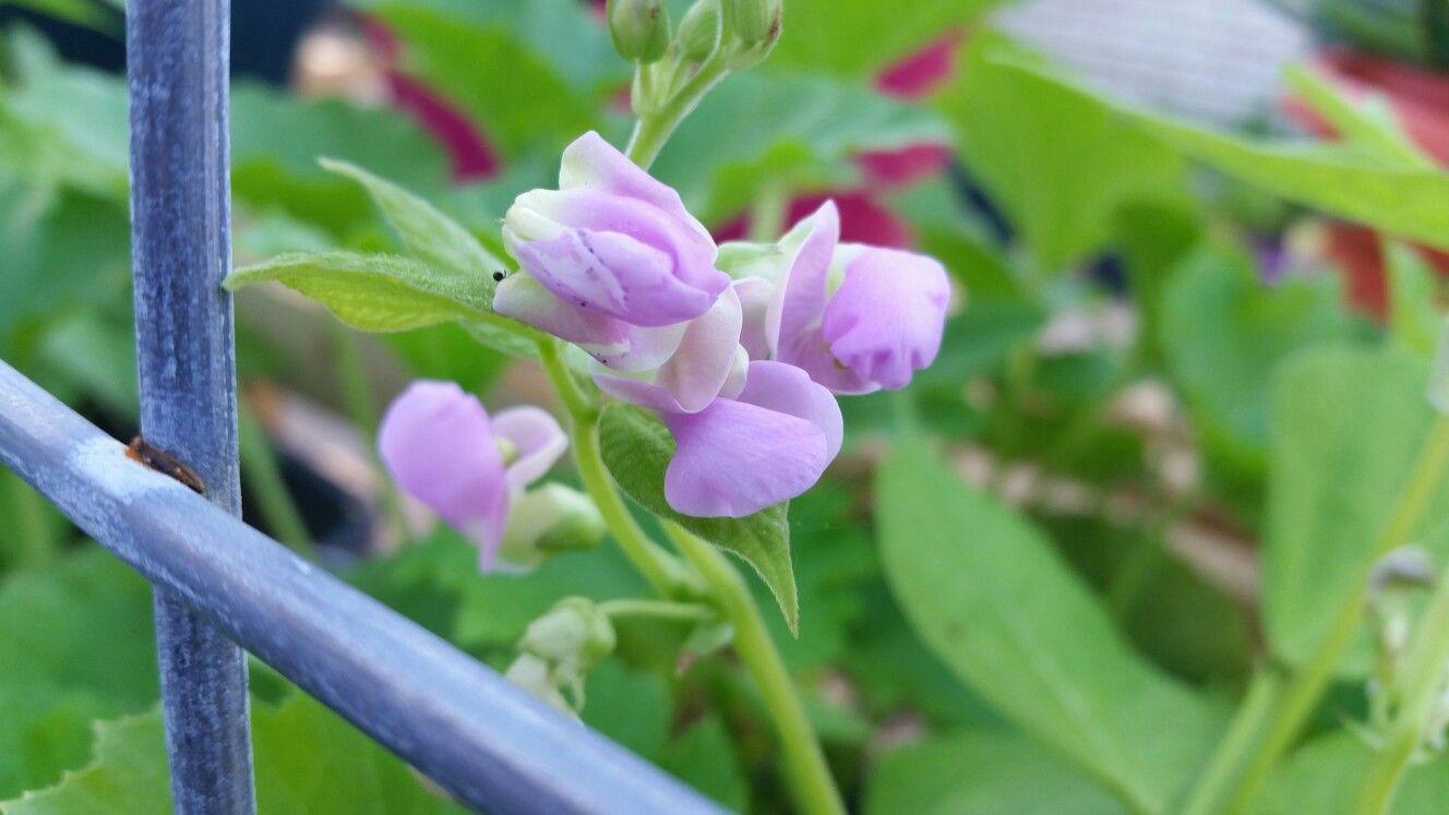 Green Beans flowering