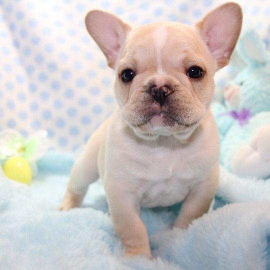 Oh Romeo French Bulldog Puupy Bulldog Puppies French Bulldog Puppies French Bulldog