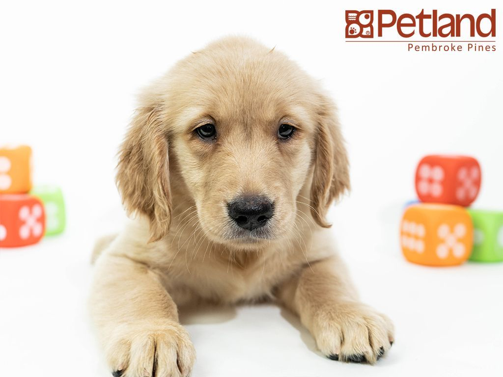 Petland Florida Has Golden Retriever Puppies For Sale Interested