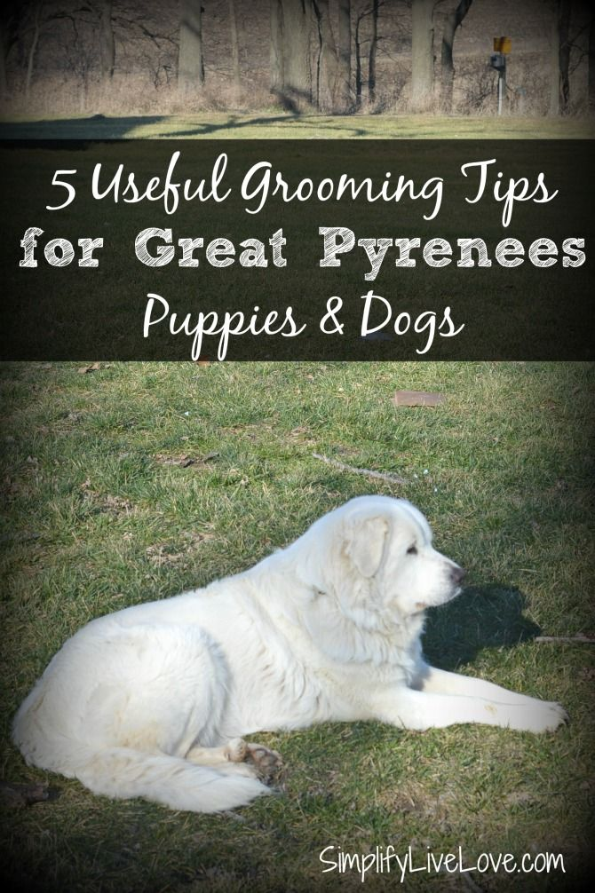 5 Useful Tips for Grooming Great Pyrenees Puppies BayerExpertCare