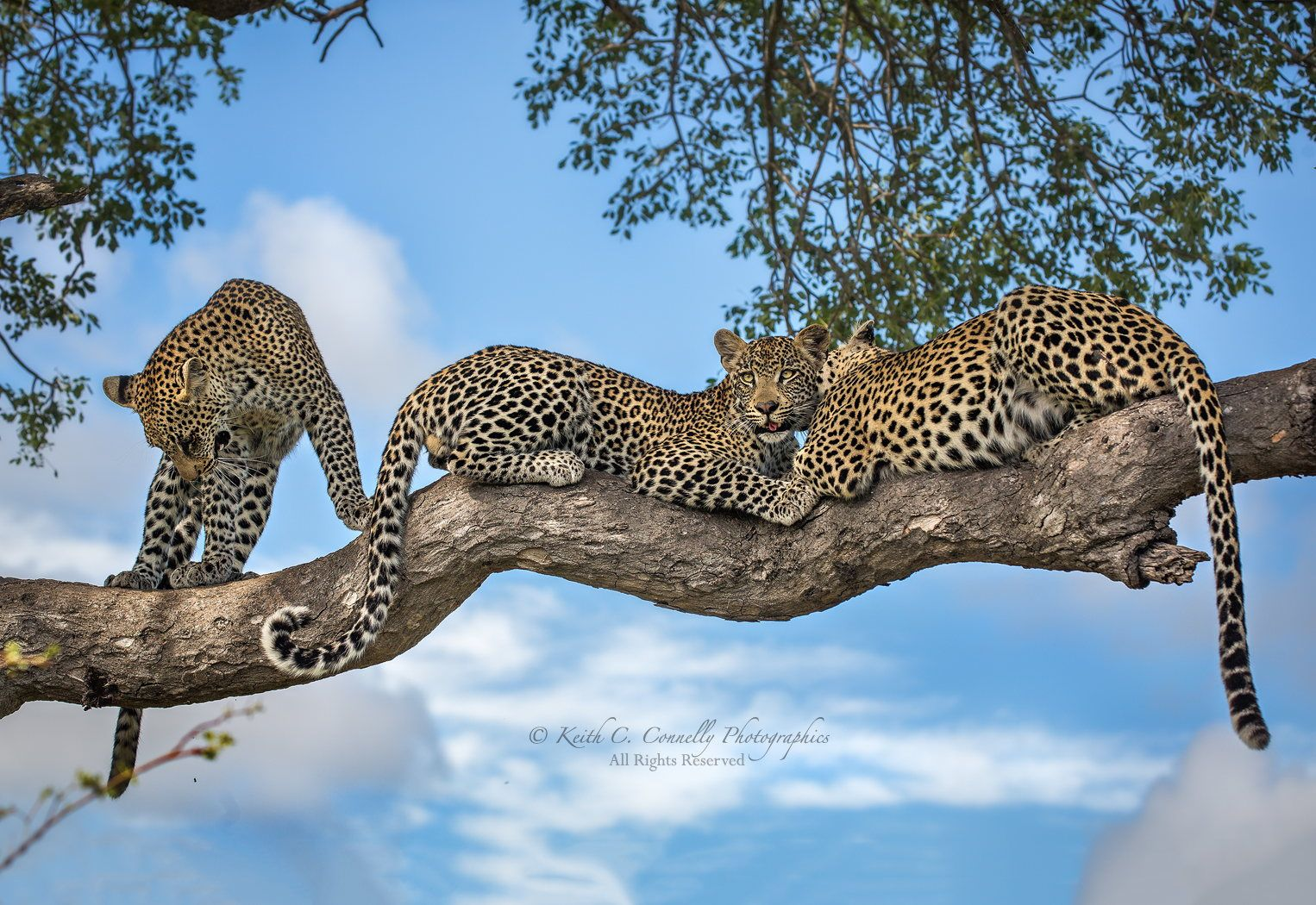 I see your two Leopard & raise you one more! by Keith Connelly Photographics on 500px