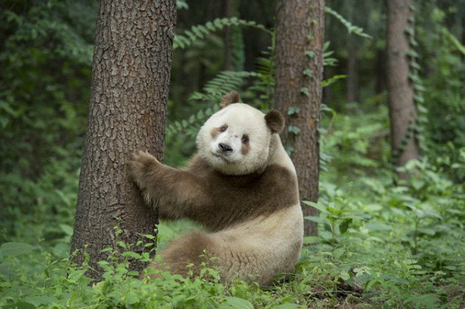 essay on panda bears A giant panda's appetite for bamboo is insatiable they eat bamboo 12 hours a day that adds up to 28 lbs (125 kg) of bamboo each day, according to national geographic.